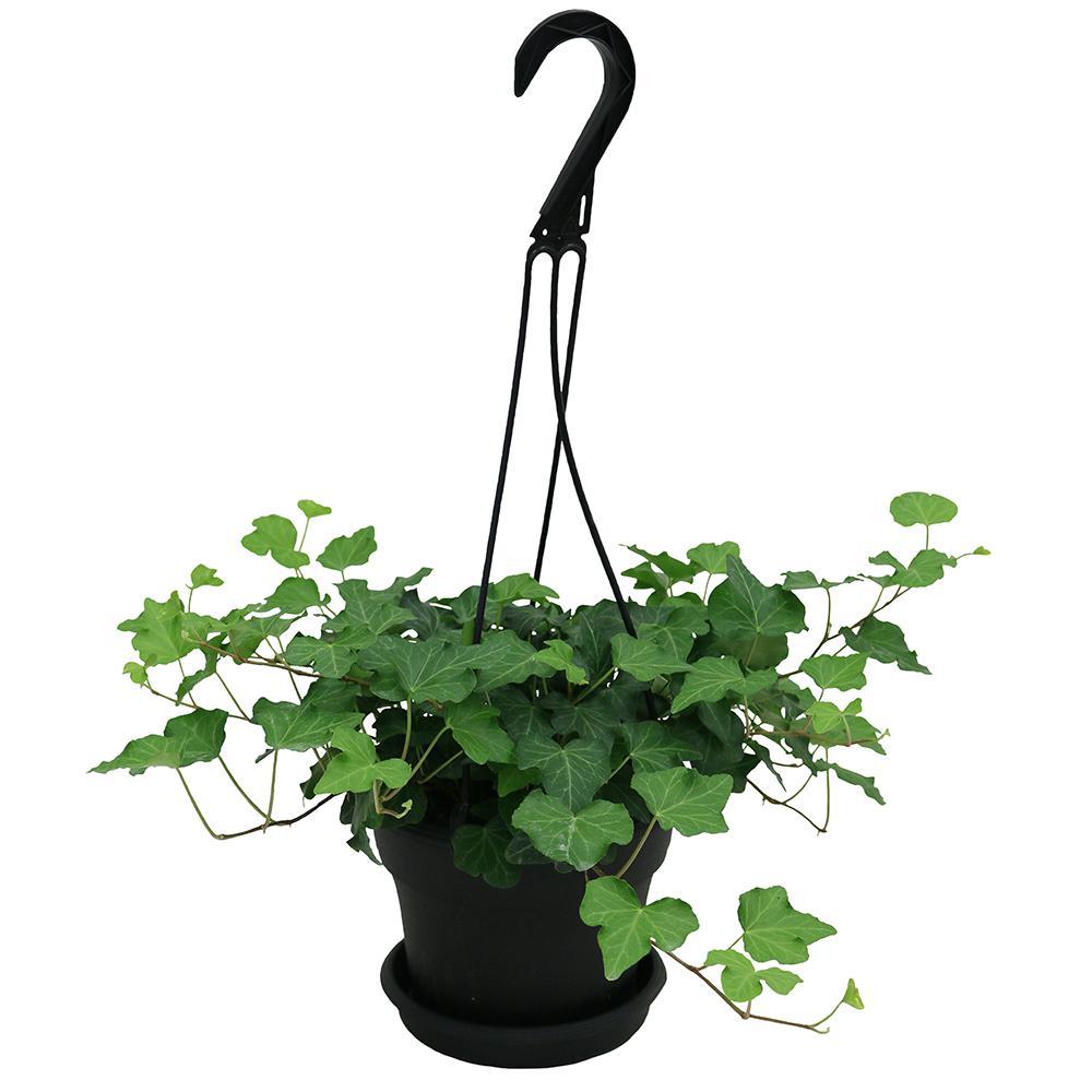 Best Kitchen Gallery: Indoor Plants Garden Plants Flowers The Home Depot of Tropical Ivy House Plants on rachelxblog.com