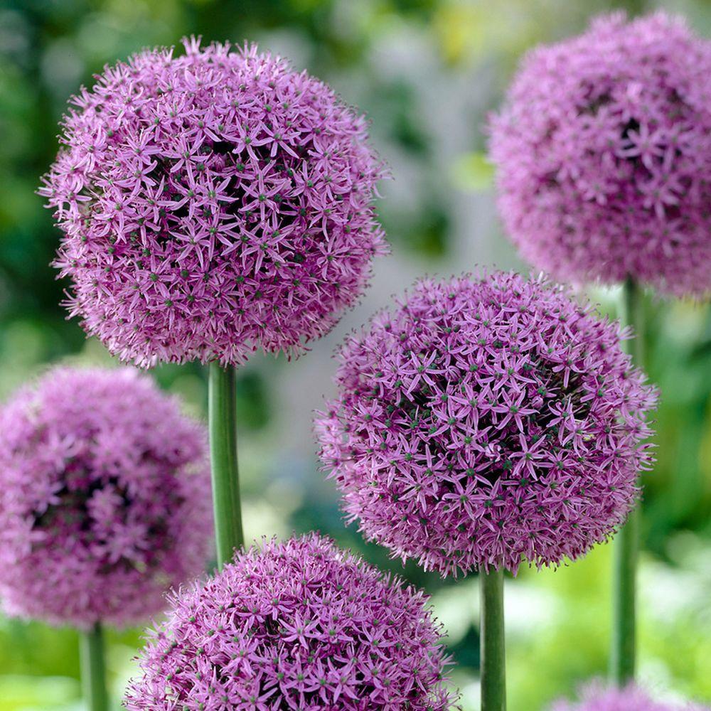 bloomsz allium globe master