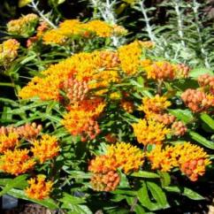 Kitchen Faucets On Sale Home Depot Apartment Cabinet Ideas Onlineplantcenter 1 Gal. Butterfly Weed Plant-a150cl - The ...