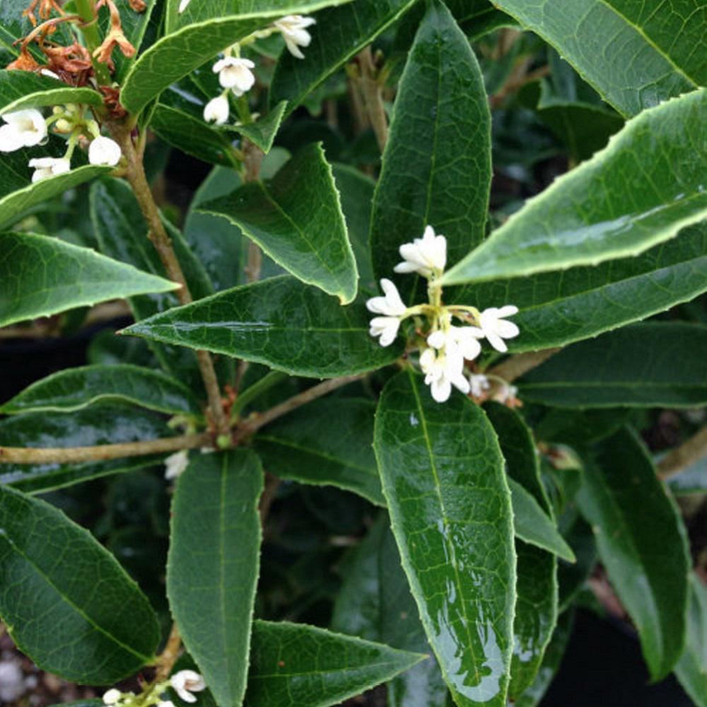 Non Flowering Shrubs