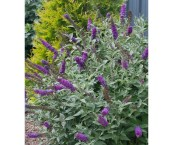 purple flowering shrubs