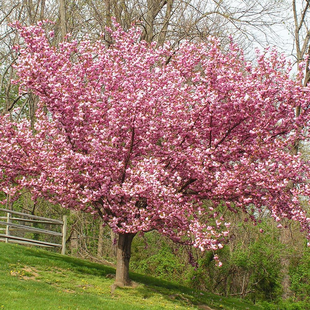 Japanese Cherry Blossom Tree For Sale Canada Novocom Top