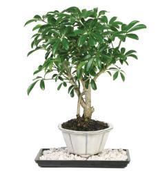 brussel s bonsai dwarf hawaiian umbrella tree indoor  [ 1000 x 1000 Pixel ]