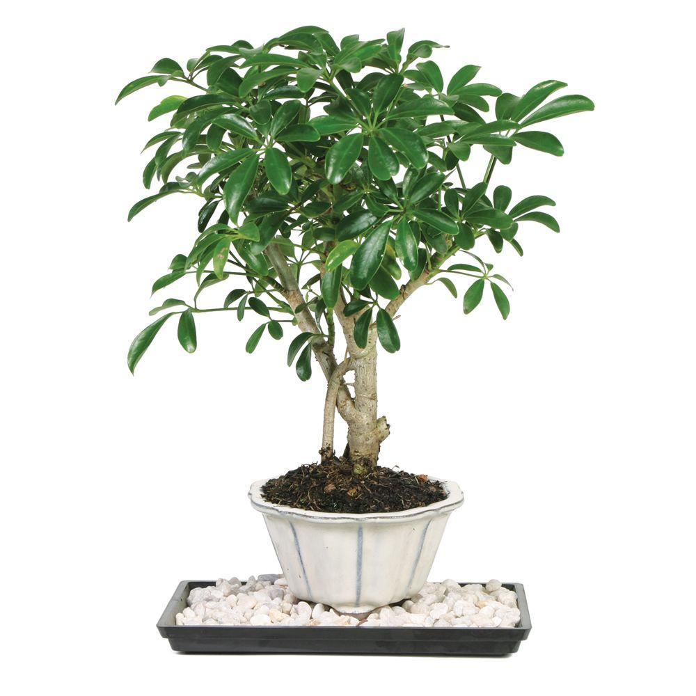hight resolution of brussel s bonsai dwarf hawaiian umbrella tree indoor