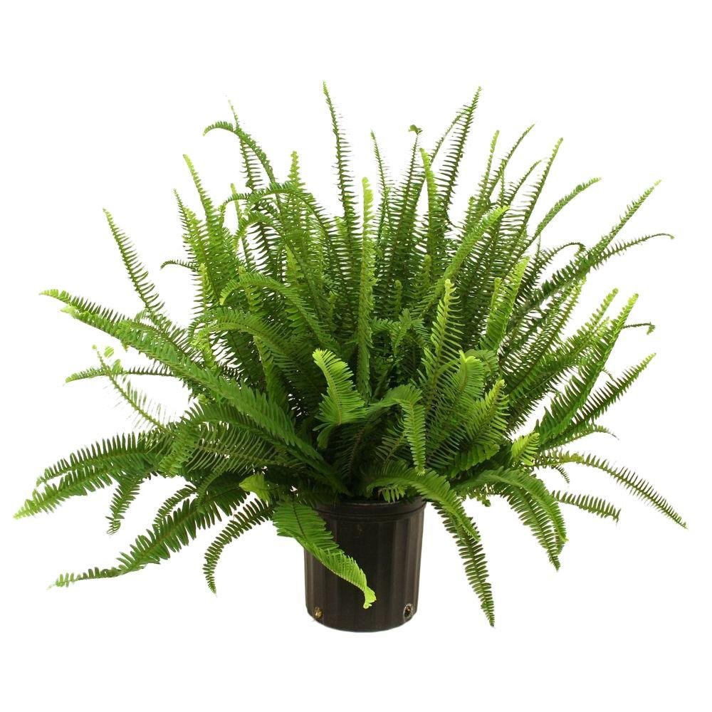 Delray Plants Kimberly Queen Fern in 834 in Pot10KIM