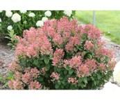 low growing flowering shrubs