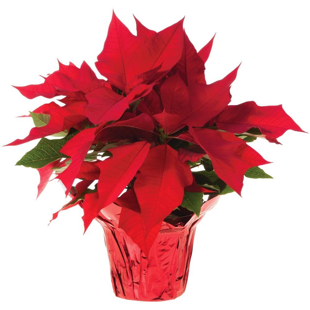 15 Qt Live Poinsettia In Store Only 10024UM The