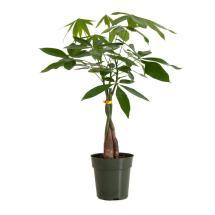 Pachira Braid Money Tree In 6 In. Grower Pot-26639