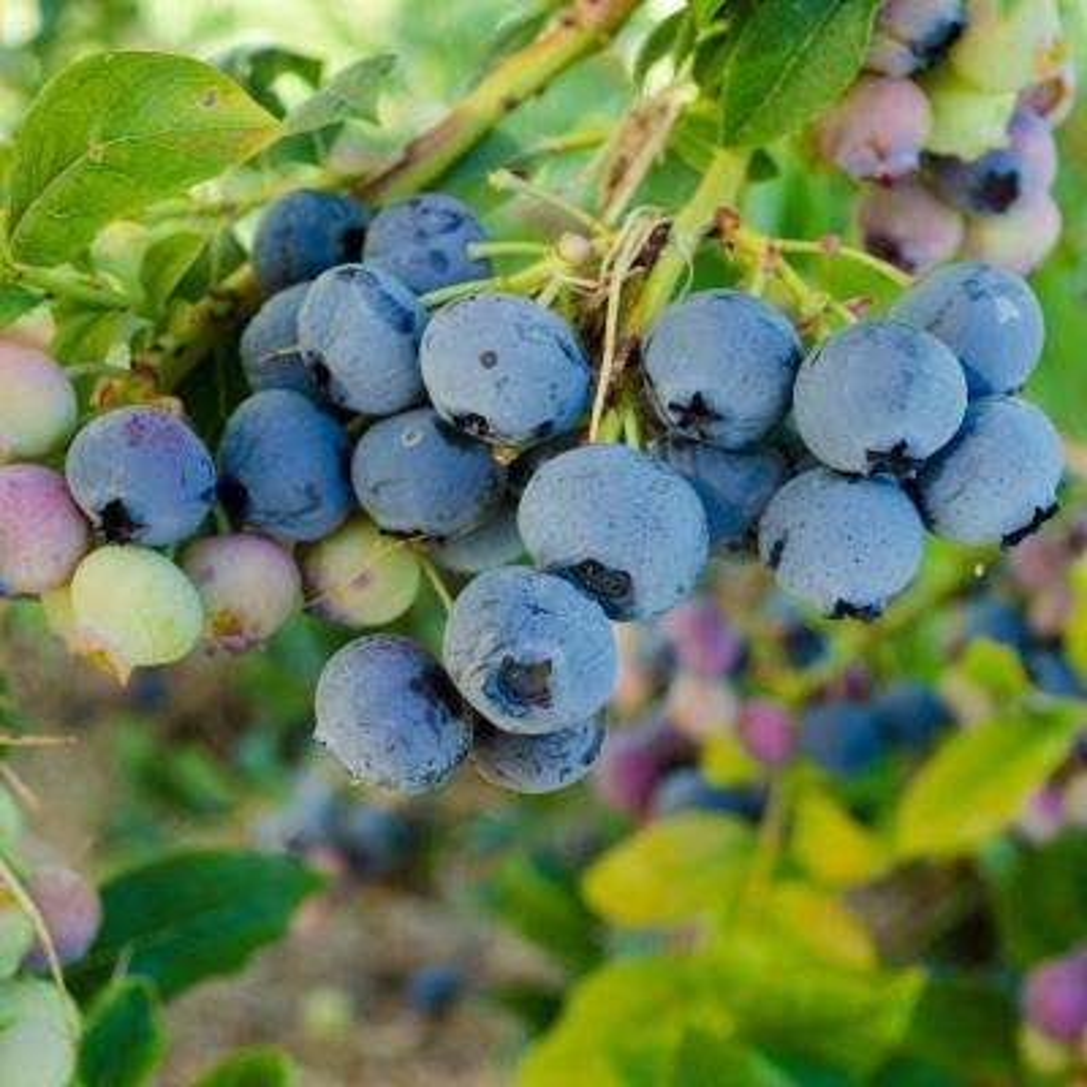 bluecrop blueberry vaccinium live