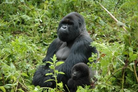 FoxOwned National Geographic Uses Gorillas as Cover for