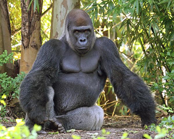Largest Silverback Gorilla