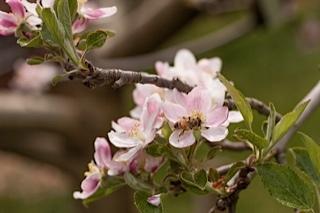 2013-06-10-BeesinAppleBlossom.jpg