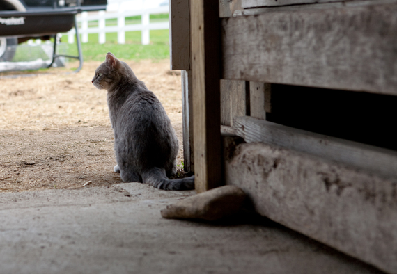2015-10-19-1445294684-5802185-HP_APA_Barn_Cat_1.jpg.jpg