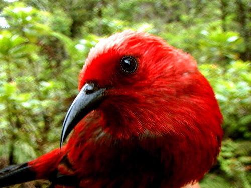 2016-09-21-1474482942-5579588-apapanehoneycreeperhawaiimauiSourcewww.mauiforestbirds.orgccr347.jpg
