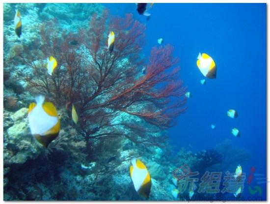 帛琉大斷層-樹枝珊瑚與神仙魚