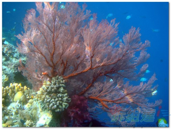 帛琉大斷層-樹枝珊瑚
