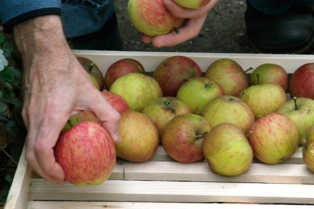 كيفية حصاد التفاح