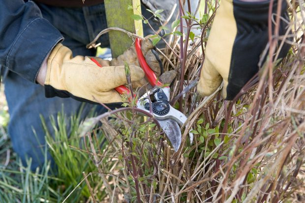 How to grow clematis - pruning clematis