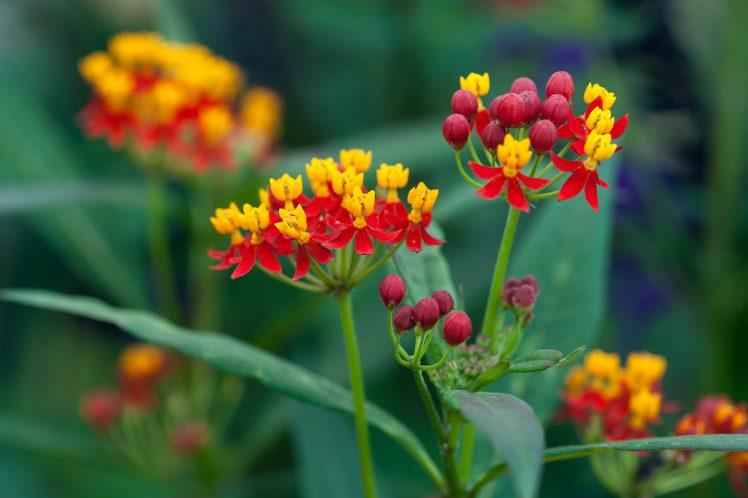 Asclepias curassavica - BBC Gardeners' World Magazine
