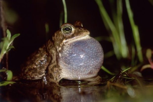 Natterjack Toad (Bufo calamita), male calling, Lower Saxony, Germany