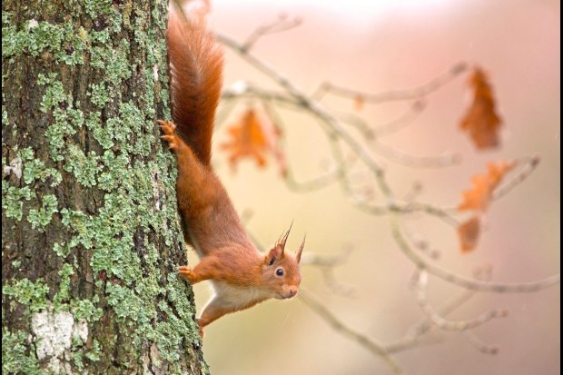 red squirrel facts how