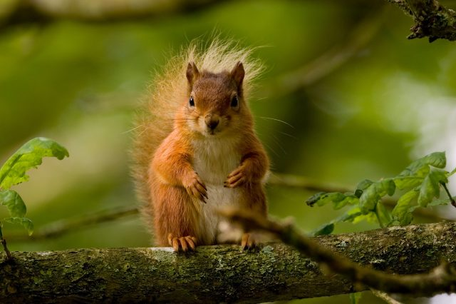 Red squirrel 0f616d3