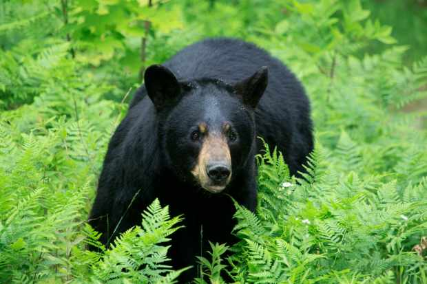 12 amazing black bear