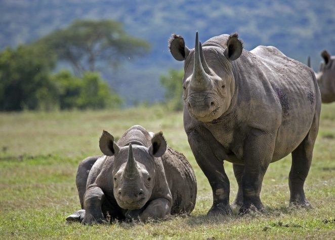 Rhino guide: how to identify each species, where to see and conservation -  Discover Wildlife
