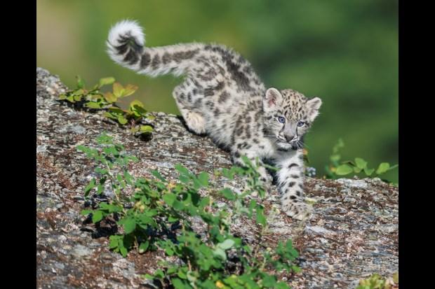 Kitten Fur White And Spots Black