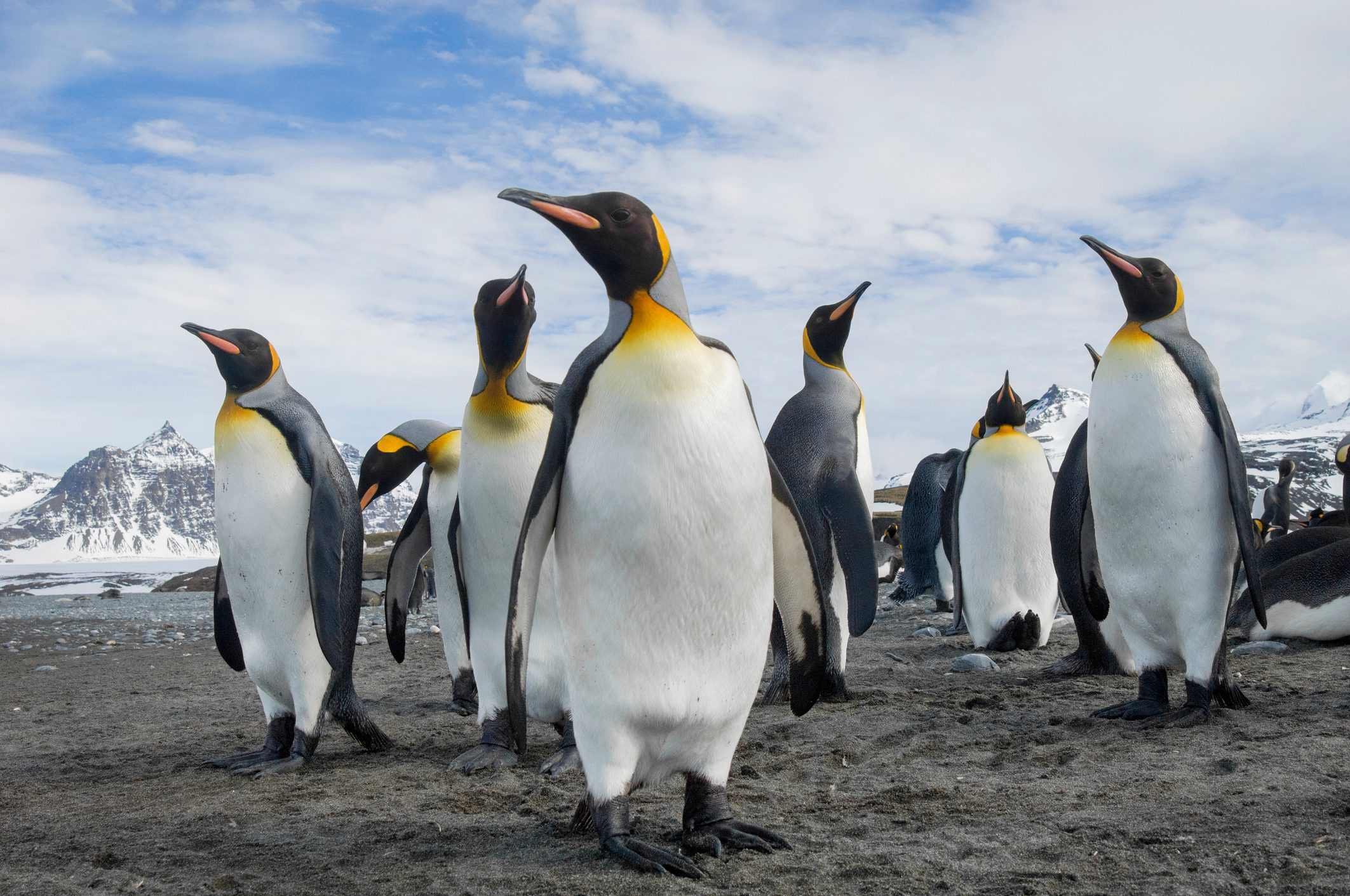 King Penguin Guide Species Facts And Where They Live Discover Wildlife