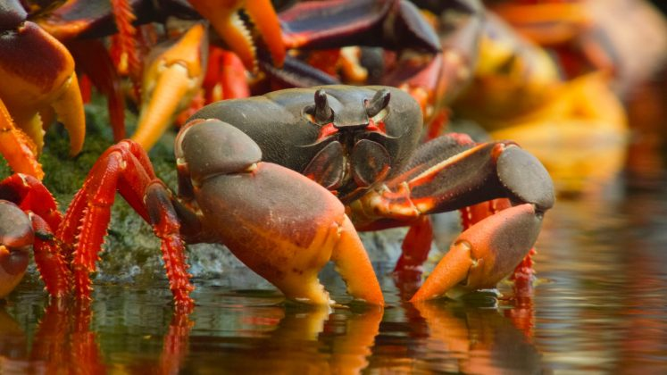 Land crab. © Crossing the Line Productions