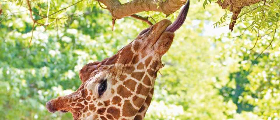 why do giraffes have