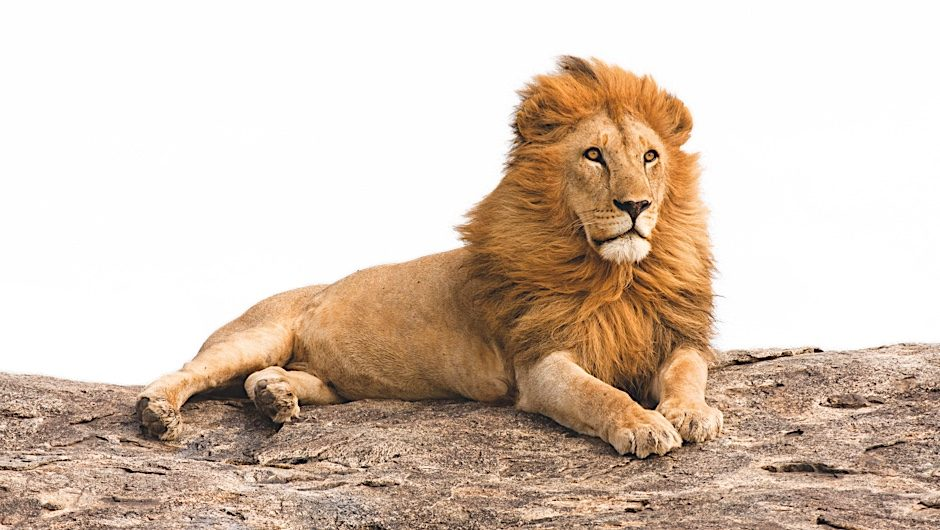 Why Do Lions Have Manes Bbc Science Focus Magazine