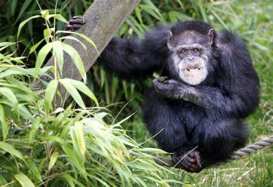 A chimpanzee at Edinburgh Zoo © Danny Lawson/PA