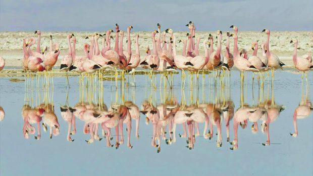 एंडियन फ्लेमिंगोस © बीबीसी / विनम्र बीफिल्म्स / सीलाइट पिक्चर्स