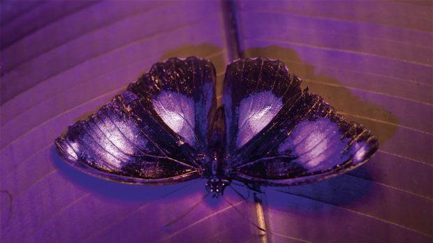 ब्लू-मून तितली © BBC / Humble BeeFilms / SeaLight Pictures