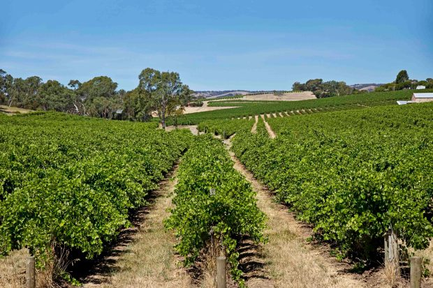 Vineyards at McLaren Vale, South Australia. Photo from Getty