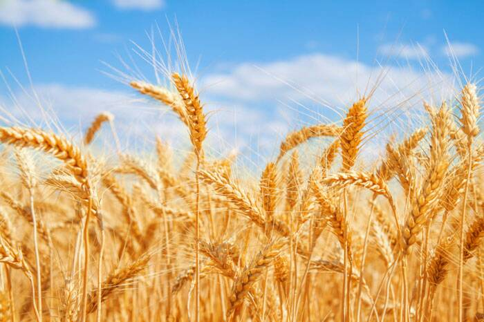 Image result for wheat