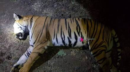 After 53-day hunt, T1 shot, decision soon on her cubs