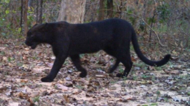 Black Panther Spotted At Achanakmar Tiger Reserve In Chhattisgarh Pictures Go Viral Trending News The Indian Express