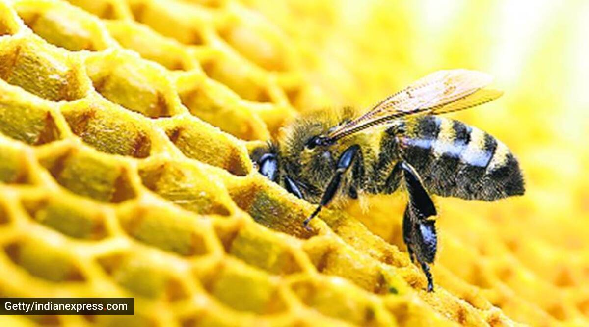 Lockdown Effect Bees Are Busier And Producing More Honey As Pollution Plummets Lifestyle News The Indian Express