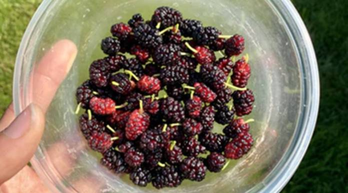 From controlling hair fall to building immunity: Top reasons to eat mulberry or shehtoot
