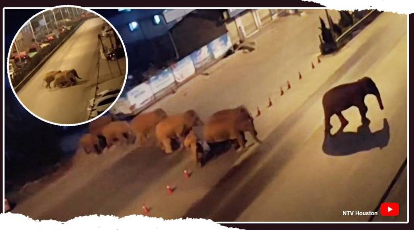 Watch: Wild elephants walk 500 km after escaping natural reserve in China