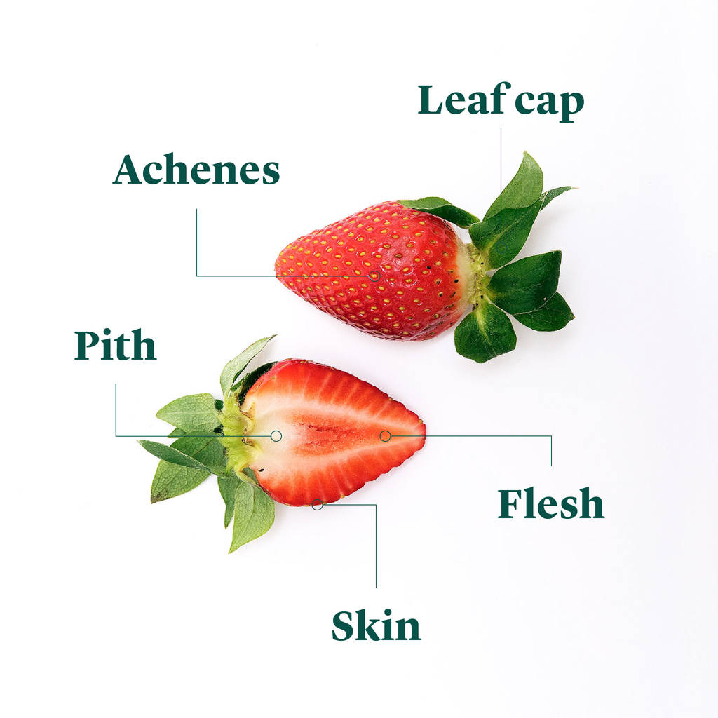 strawberry fruit diagram att uverse cat5 wiring list of synonyms and antonyms the word anatomy