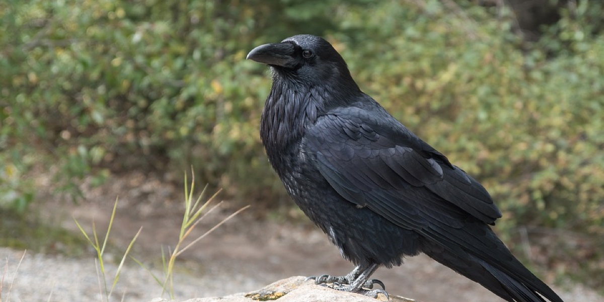 crows are incredibly smart