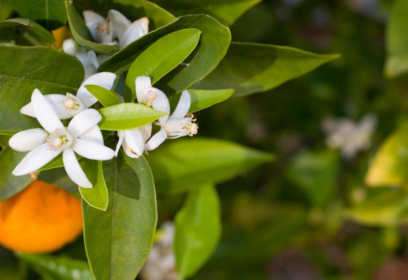 Lacqua di fiori di arancio amaro