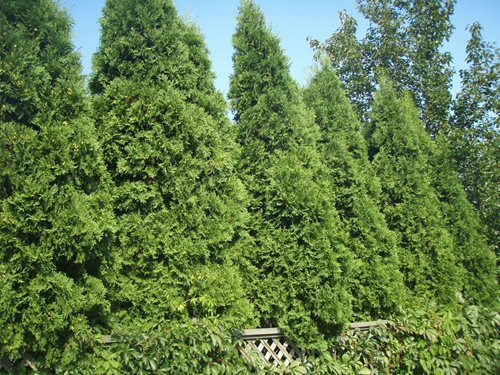 privacy plants landscaping