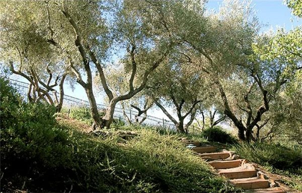 fruitless olive trees ideal