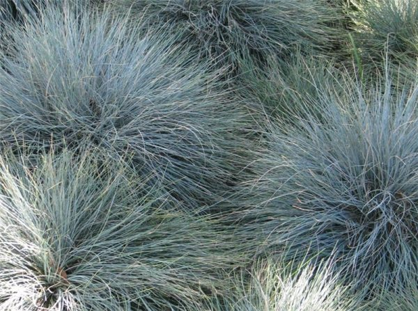 ornamental grasses residential
