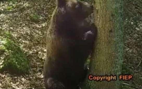 Sauvegarde de l'ours: l'Europe demande une nouvelle fois à la France d'agir